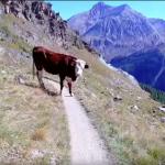 Tor Des Geants cow